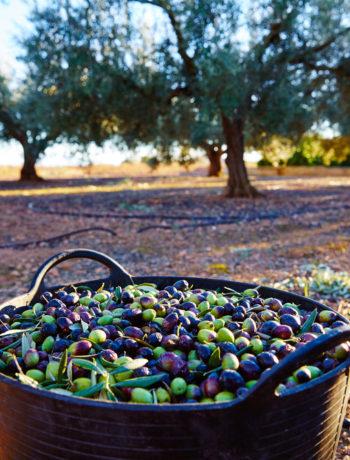 Terre tarentine olio di oliva pugliese