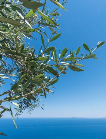 olio della Penisola Sorrentina, panorama ulivi